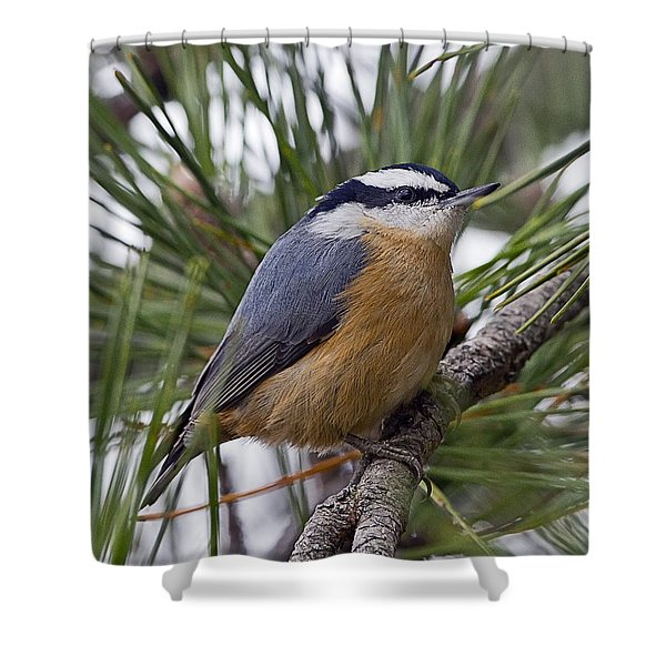 Winter Visitor - Red Breasted Nuthatch Shower Curtain