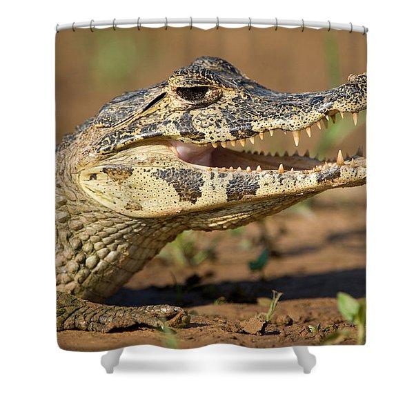 Yacare Caiman Caiman Crocodilus Yacare Shower Curtain