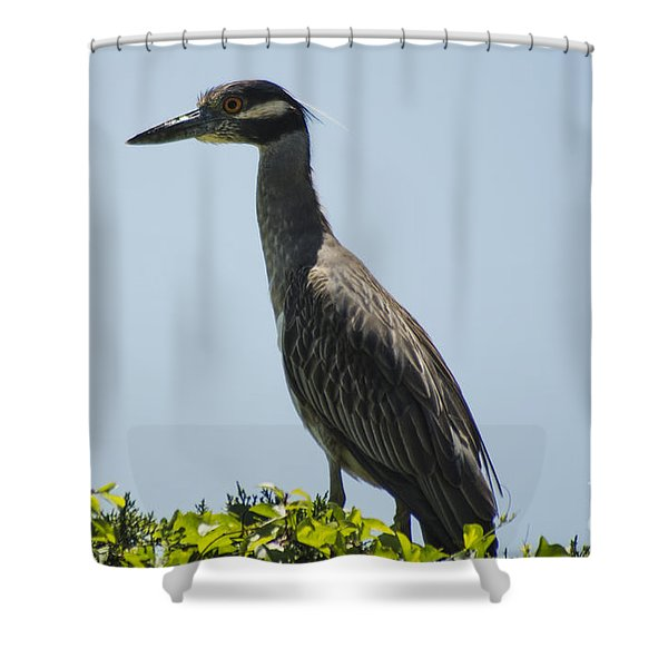 Yellow-crowned Night-heron Shower Curtain