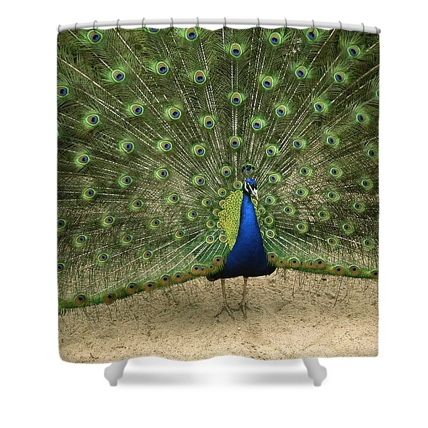 A Male Peacock Displays His Feathers Shower Curtain