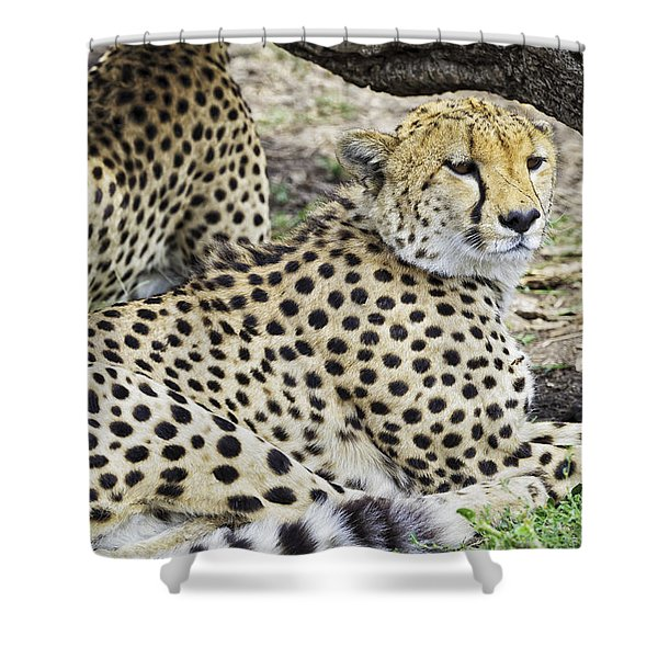 Shower Curtain featuring the photograph Cheetahs Resting by Perla Copernik