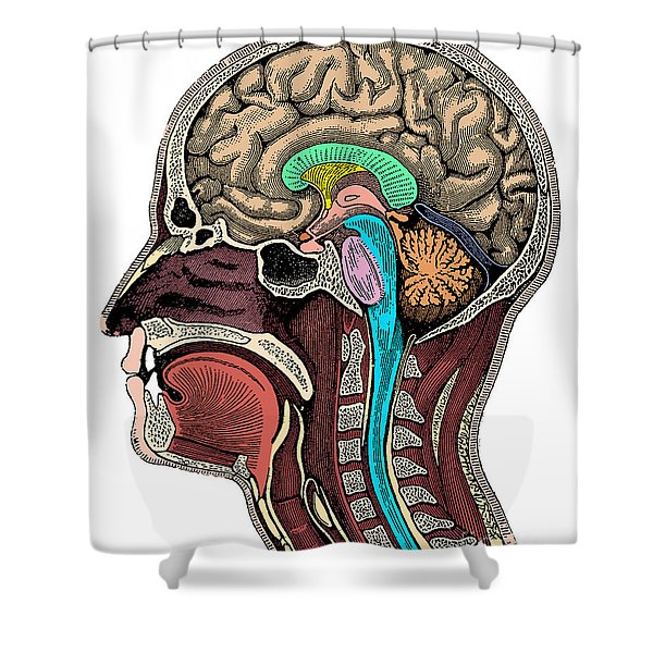 Head And Brain Anatomy Shower Curtain