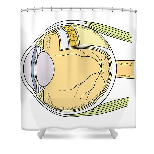 Illustration Of Eye Anatomy Shower Curtain