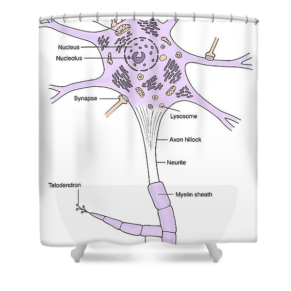Illustration Of Motor Neuron Shower Curtain