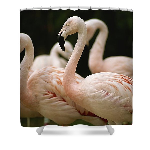 A Flock Of Chilean Flamingos Shower Curtain