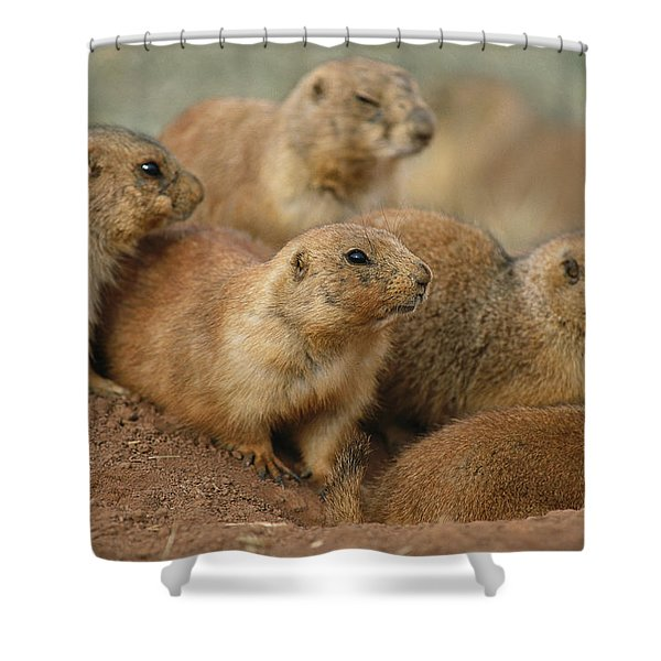 A Group Of Prairie Dogs Cluster Shower Curtain