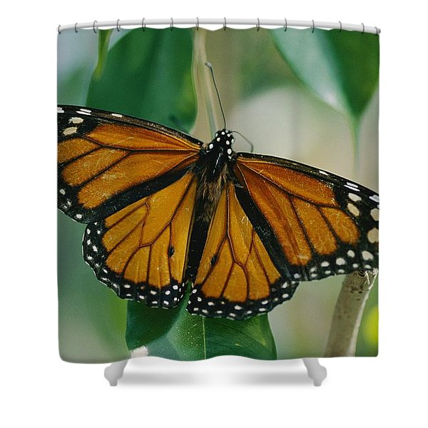 A Monarch Butterfly Danaus Plexippus Shower Curtain