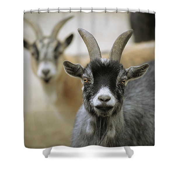 A Pair Of Domestic Goats, Capra Hircus Shower Curtain