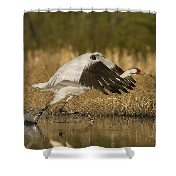 A Whooping Crane Female Flying Shower Curtain
