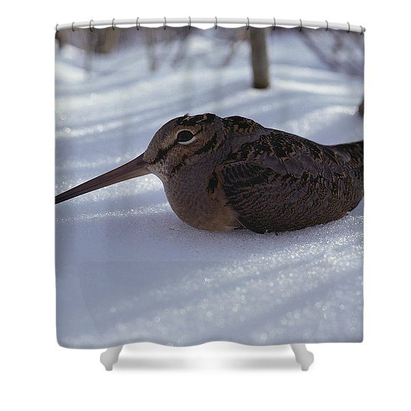 A Woodcock Sits In The Snow Shower Curtain