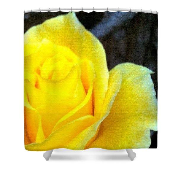 #beautiful #yellow #rose #garden Shower Curtain