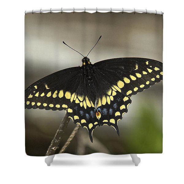 Black Swallowtail Din103 Shower Curtain