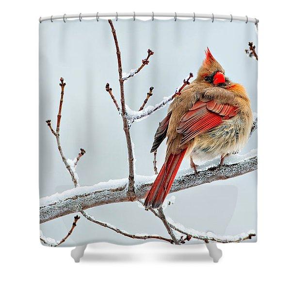 Cardinal I The Snow  Shower Curtain