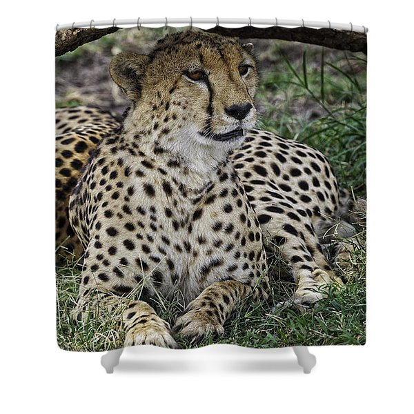 Shower Curtain featuring the photograph Cheetah Alert by Perla Copernik