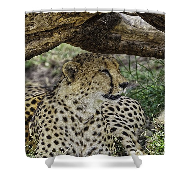 Shower Curtain featuring the photograph Cheetah Resting by Perla Copernik