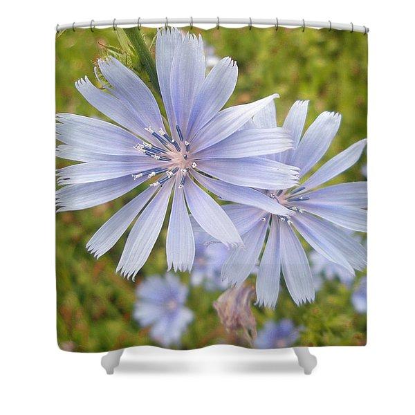 Chicory Wildflower - Cichorium Intybus L.  Shower Curtain