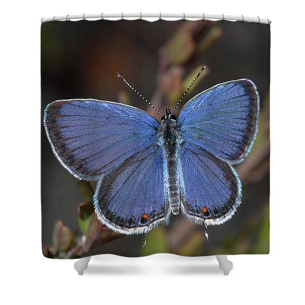 Eastern Tailed Blue Butterfly Shower Curtain