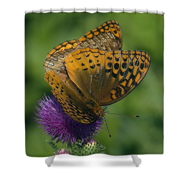 Great Spangled Fritillaries On Thistle Din108 Shower Curtain