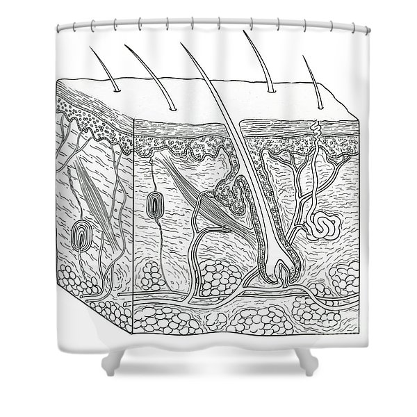 Illustration Of Skin Section Shower Curtain
