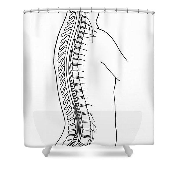 Illustration Of Spinal Nerves Shower Curtain