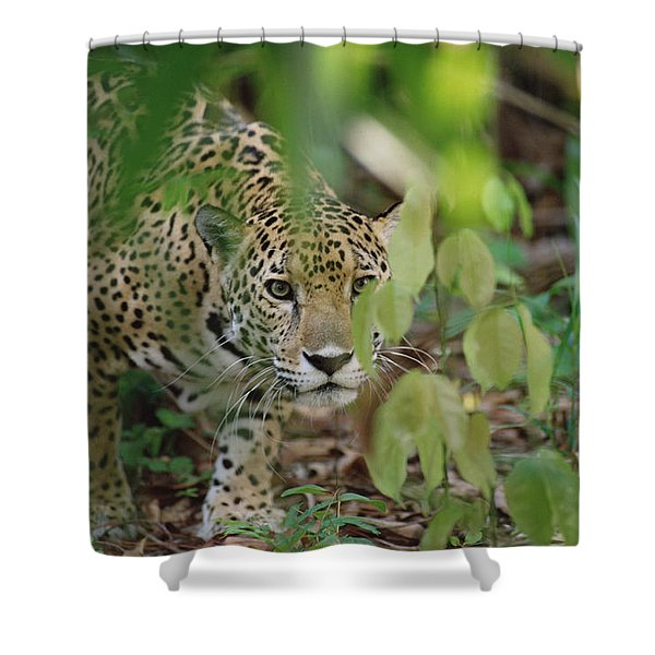 Jaguar Panthera Onca Slinking Shower Curtain