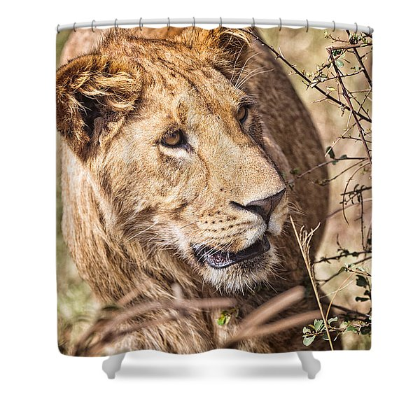 Shower Curtain featuring the photograph Lioness Hiding by Perla Copernik