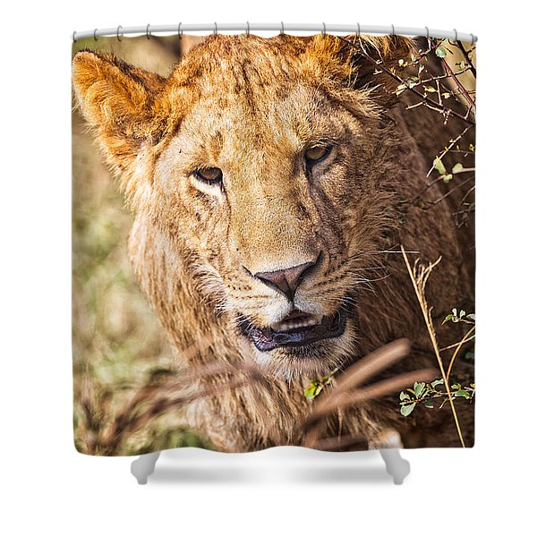 Shower Curtain featuring the photograph Lioness by Perla Copernik
