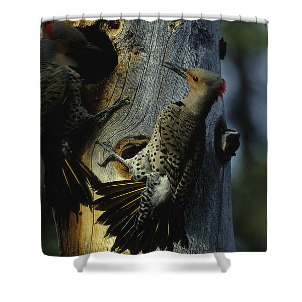 Northern Flickers Fight Over Nesting Shower Curtain
