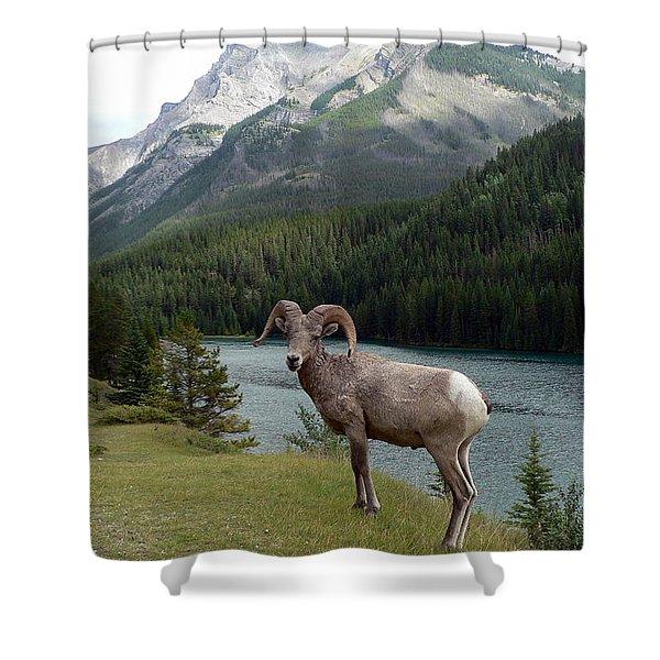 Portrait Of A Bighorn Sheep At Lake Minnewanka  Shower Curtain