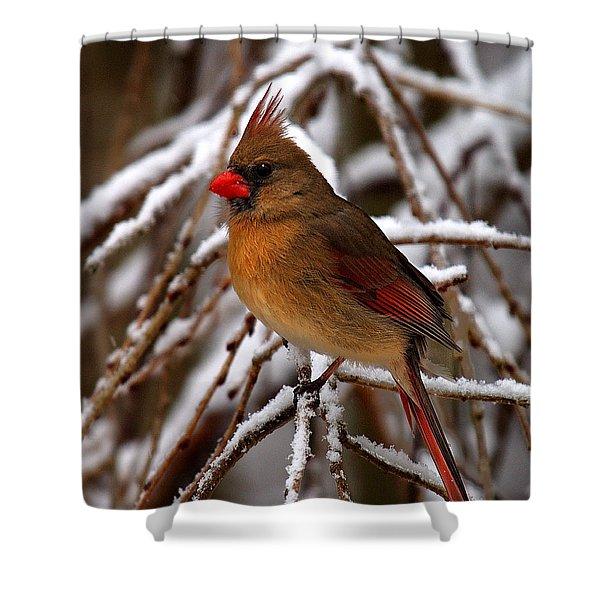 Snowbirds--cardinal Dsb025 Shower Curtain