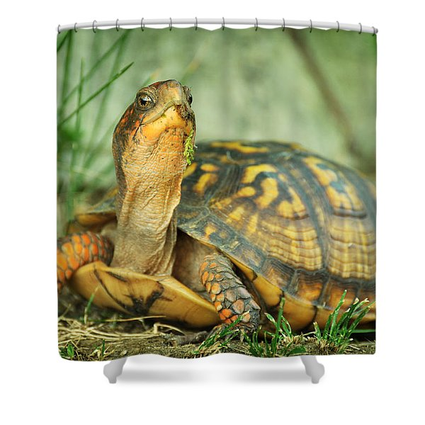 Terrapene Carolina Eastern Box Turtle Shower Curtain