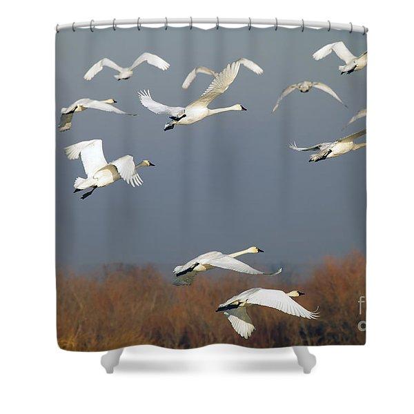 Tundra Swan Takeoff Shower Curtain