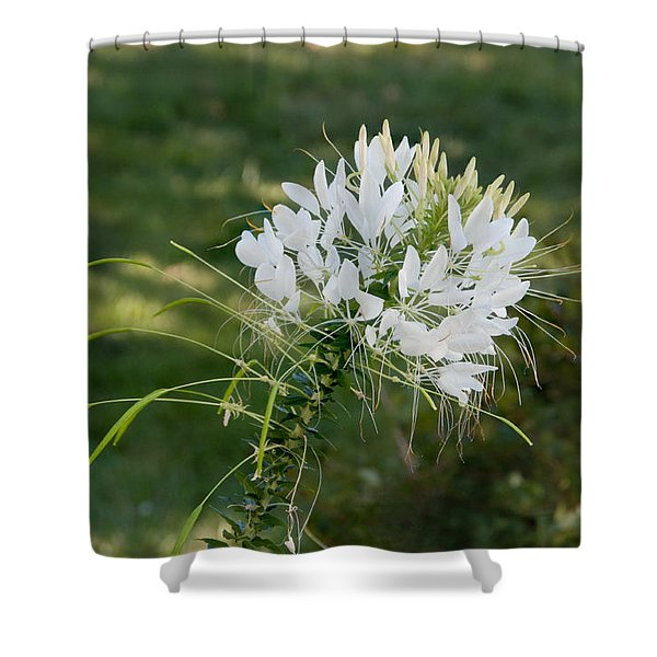 White Cleome Shower Curtain