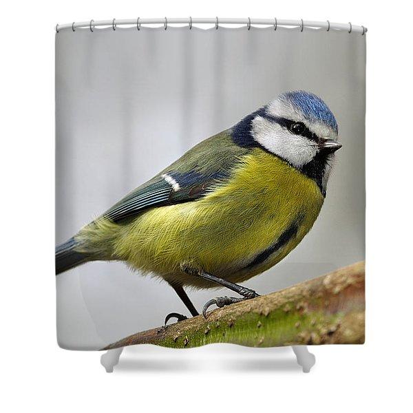 Blue Tit Shower Curtain