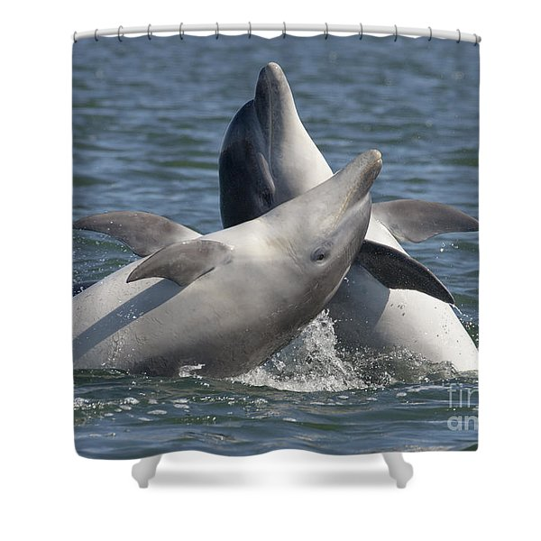 Bottlenose Dolphins  - Scotland  #15 Shower Curtain