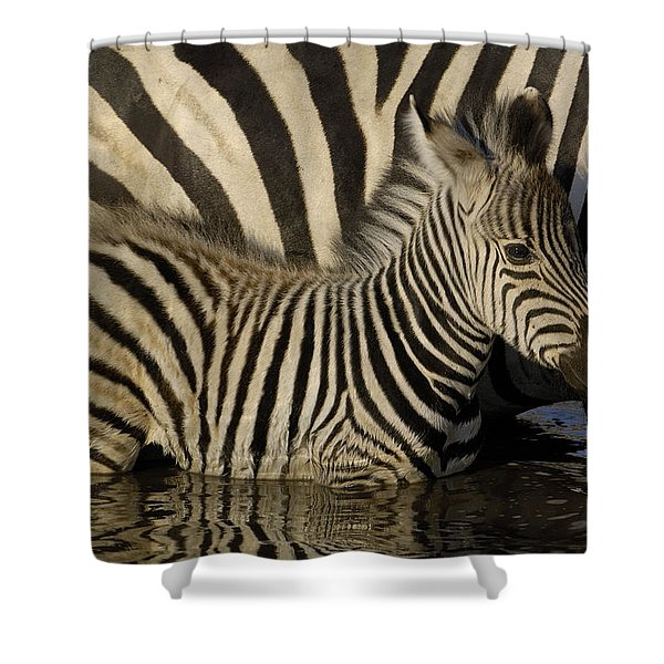 Burchells Zebra Equus Burchellii Foal Shower Curtain
