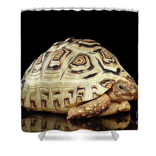 Closeup Leopard Tortoise Albino,stigmochelys Pardalis Turtle With White Shell On Isolated Black Back Shower Curtain