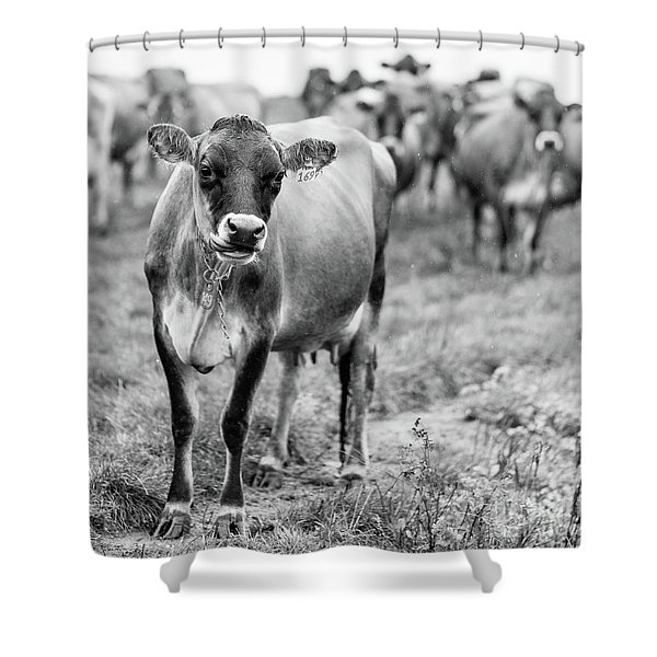Dairy Cow On A Farm In Stowe Vermont Shower Curtain