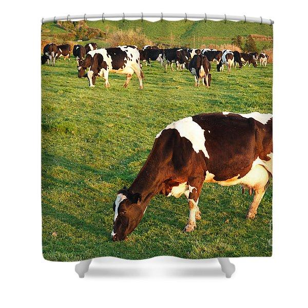 Holstein Cattle Shower Curtain by Gaspar Avila