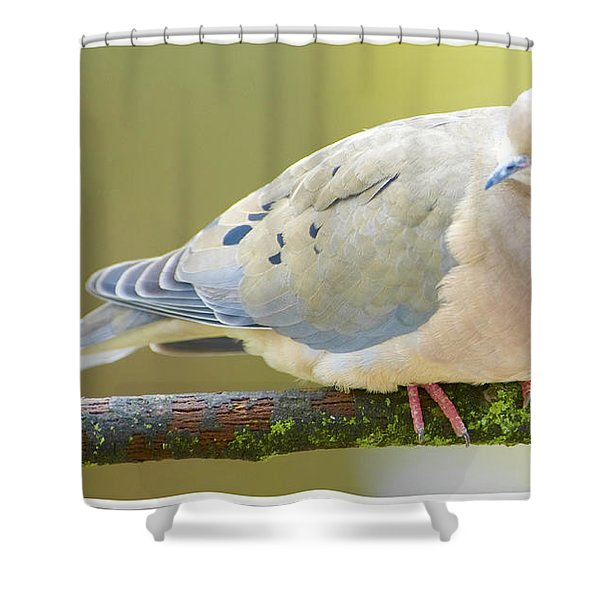 Mourning Dove On Tree Branch Shower Curtain