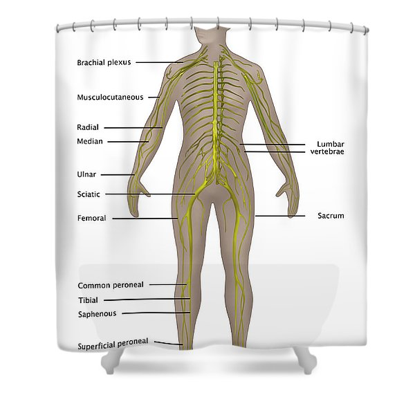 Nervous System In Female Anatomy Shower Curtain