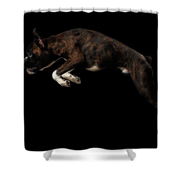 Purebred Boxer Dog Isolated On Black Background Shower Curtain