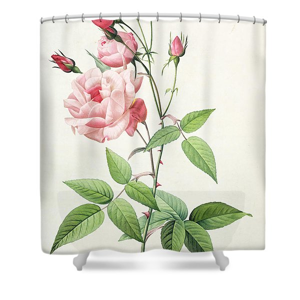 Rosa Indica Vulgaris Shower Curtain