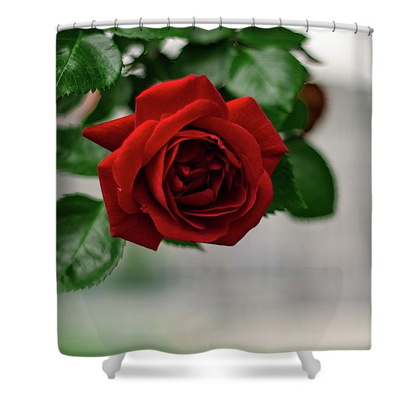 Roses In The City Park Shower Curtain