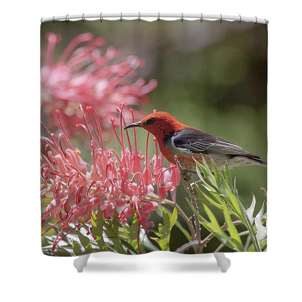 Scarlet Honeyeater Shower Curtain