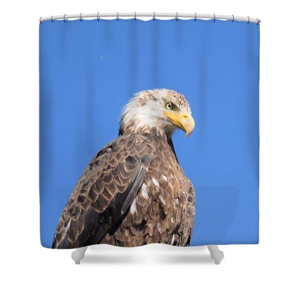 Bald Eagle Juvenile Perched Shower Curtain