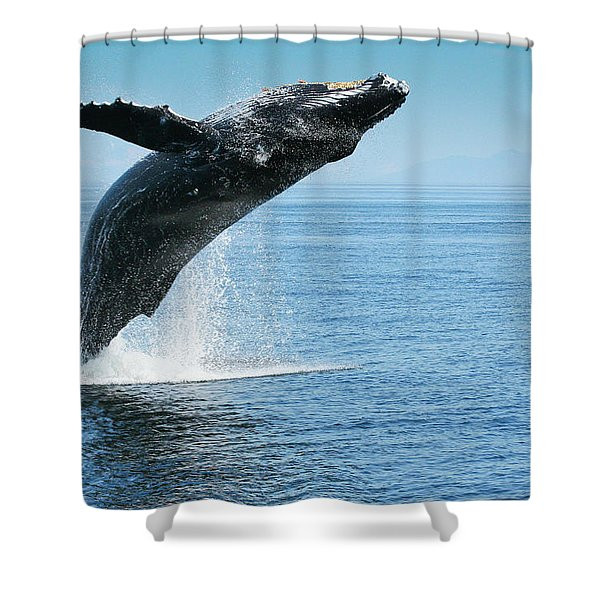 Breaching Humpback Whales Happy-1 Shower Curtain