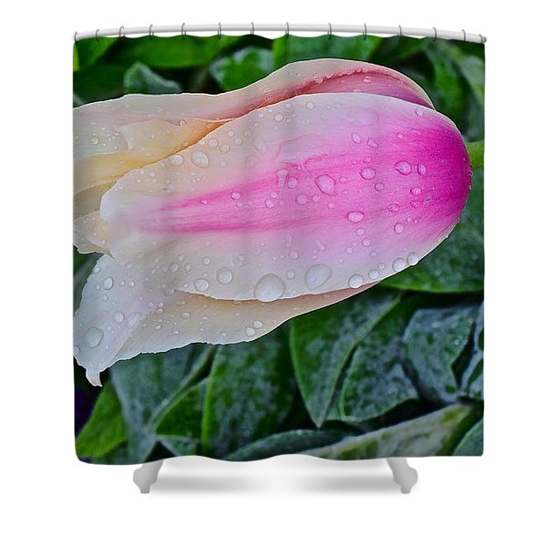 2015 Spring At Olbrich Gardens Lily Tulip In The Rain Shower Curtain