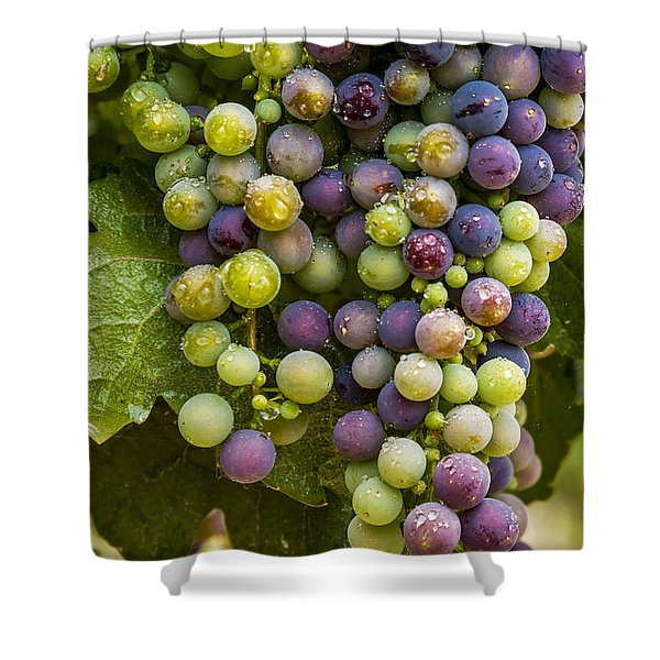 Red Wine Grapes Hanging On The Vine Shower Curtain