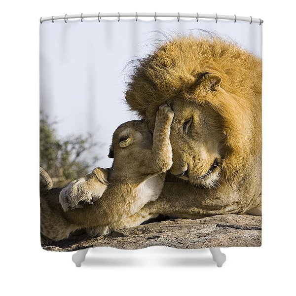 African Lion Cub Playing With Adult Shower Curtain
